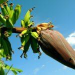 Come Coltivare un Banano